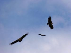 vulture-Foto-Pixabay