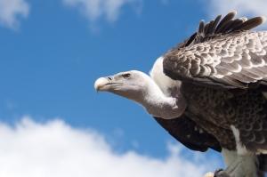Vulture-Flickr-Stephan-van-Bremen
